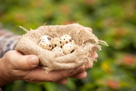 old farmer: Close up of hands of old farmer holding a nest with quail eggs inside