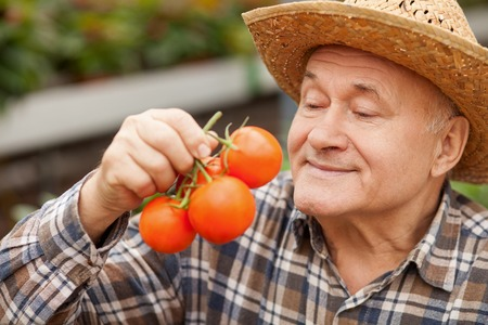 1 mature man: Skilled senior man is holding a bunch of tomato. He is looking at the healthy food with joy and smiling. The man is standing in a straw hat Stock Photo