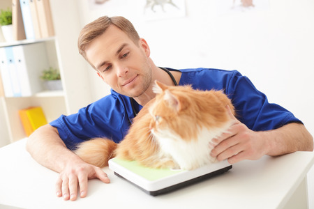 stroking: Skillful young vet is checking animal weight. He is stroking it and smiling. The cat is lying on balance on the table Stock Photo