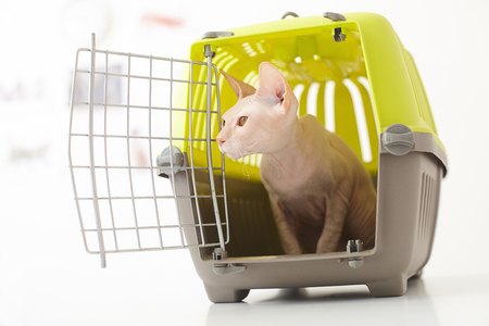 cat carrier: Cute cat is sitting in carrier box and looking aside with interest. The container on the table