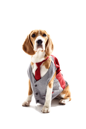 Pretty beagle dog in business suit. He is sitting and looking forward seriously. Isolated Stock Photo