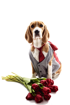 Cute beagle dog is sitting in formal suit near flowers. Isolated on background Stock Photo