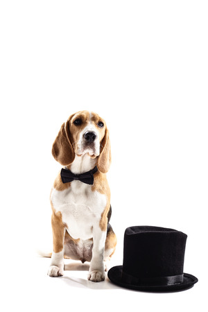 Cheerful beagle dog is sitting near a black hat. He is wearing a bow tie. Isolated