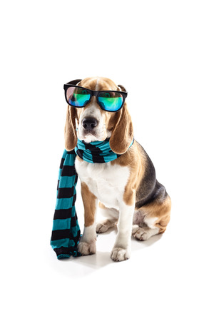 Cute beagle dog is wearing blue scarf and cool sunglasses. He is sitting. Isolated Banco de Imagens