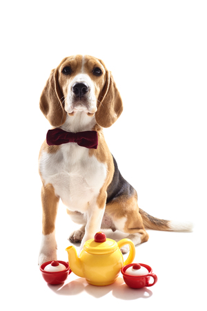 tog: Help yourself with a cup of tea. Pretty beagle dog is sitting neat a tog kettle with two cups. He is wearing a bow tie. Isolated