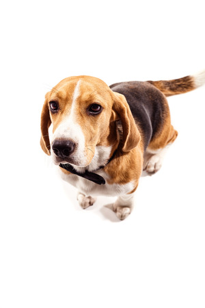Cute puppy is standing with a black bow tie over his neck. He is staring at camera seriously. Isolated Stock Photo