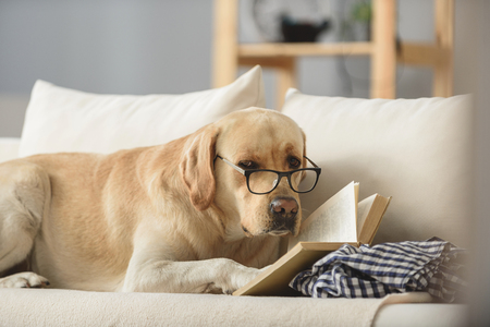 smart looking dog in glasses with book looking into a camera, exams concept