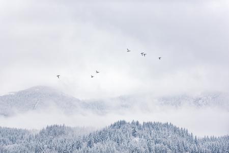 Gray flock of ducks flying over forest