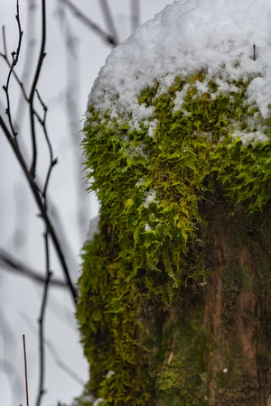 Snowy deciduous tree with lichen Stock Photo