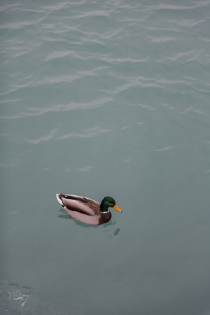 silty: Calm solitary duck situating in water