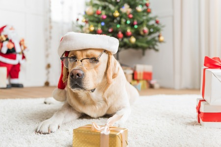 So smart. Lovely Labrador is lying on white carpet wearing glasses and red hat among Christmas boxes. Decorated tree with Santa Claus are on background. Copy space on the right side Stock Photo