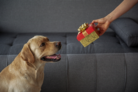 Cheerful labrador looking at female gift Stok Fotoğraf