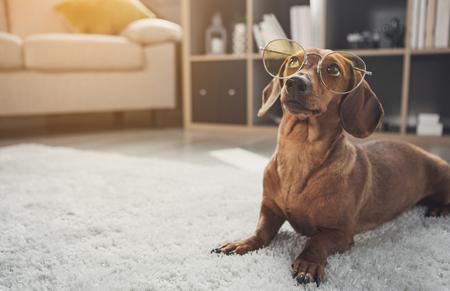 Chien teckel domestique intelligent portant des lunettes. Il lève les yeux avec curiosité en étant allongé sur un tapis à la maison. Espace copie