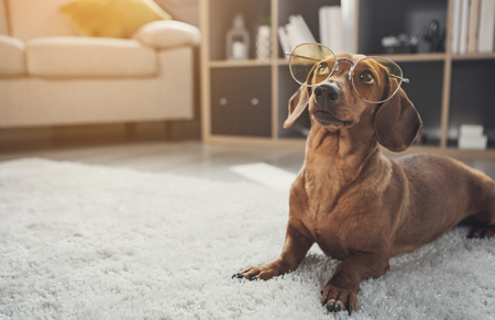 Smart domesticated dachshund dog wearing glasses. It is looking up with curiosity while lying on carpet at home. Copy space