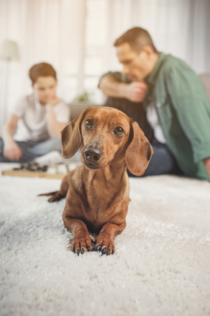 Portrait of curious brown puppy lying on carpet near owners at home Stockfoto