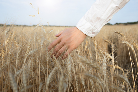 Close up of female hand touching ears of wheat with gentleness. Woman is walking on the field with relaxation