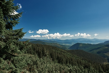 Tall spruce growing on the hills of the Carpathian mountains with a beautiful view over green hills