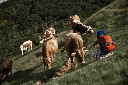 Lady backpacking in highland passing cattle paddock. She sitting on grass and stroking animal while trying to take picture of it with smartphone