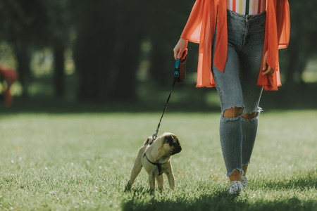 Cropped photo of young pug on leash is walking with his owner in park. Copy space on left side Standard-Bild - 113206580