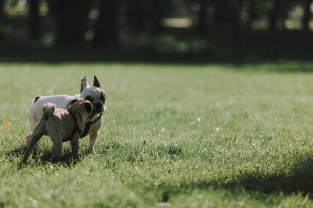 Nice puppy of pug and english bulldog are walking on green grass in sunny park. Copy space on right side Фото со стока