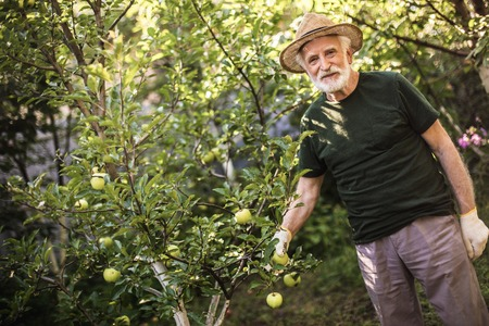 Senior agrarian man in straw hat standing in orchard and picking green apple from tree. Copy space in left side
