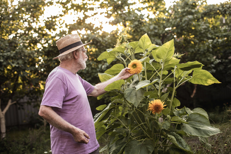Old male gardener looking at big yellow flower growing in his backyard and touching it