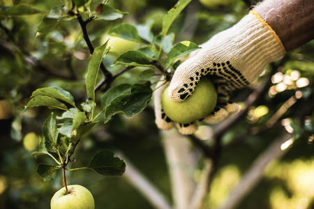 Close up of gardener hand in special work glove holding apple growing on tree