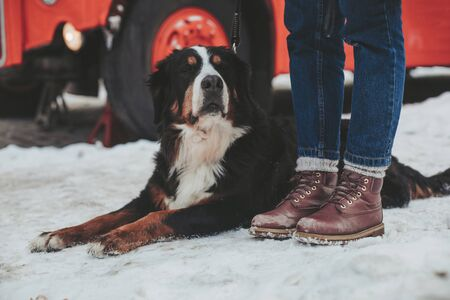 Visiting interesting places. Close up portrait of gentle smart bernese mountain dog laying beside legs of lady with red bus on background