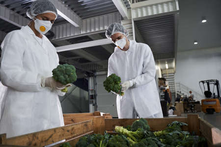 Two young workers focused on sorting broccoli