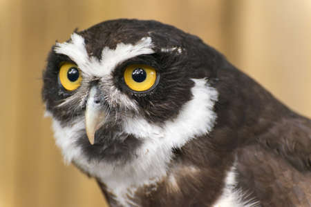 spectacled: Spectacled Owl Portrait