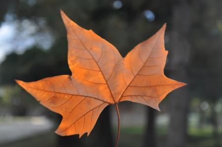 プラタナス: sycamore Leaf 写真素材