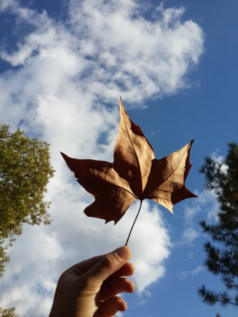 sicomoro: Sycamore Leaf Archivio Fotografico