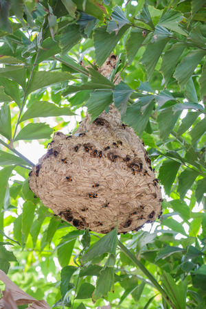 wasp nest on the tree photo