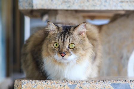 persian cat: cute Persian cat