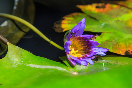 dying: abstract dying blue lotus