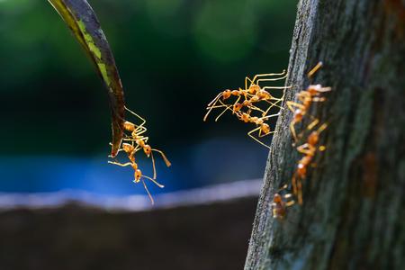 hormiga hoja: cerca de las hormigas unidad alcanzando entre s� Foto de archivo