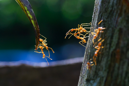red ant: close up of ants unity reaching each other