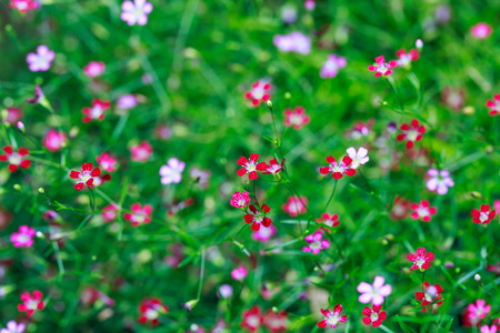 pink and red Gypsophila flower