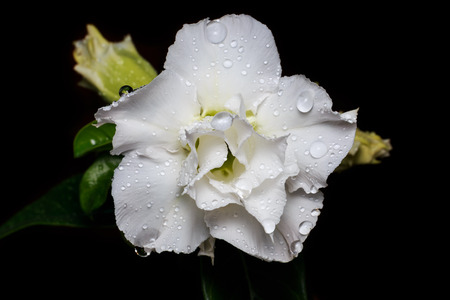 desert rose: white Desert rose, Impala lily, white flower black background Stock Photo
