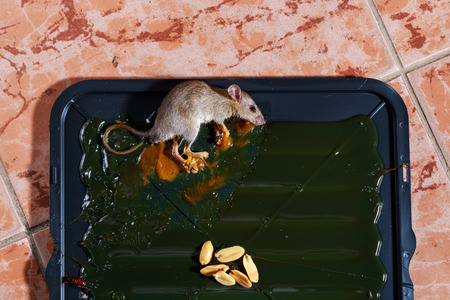 entrap: rat trapped on glue rat trap