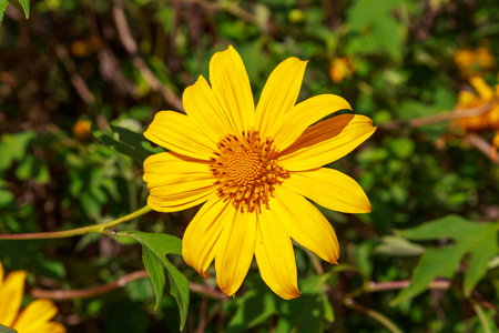 tree marigold: Tree marigold flower or Mexican sunflower