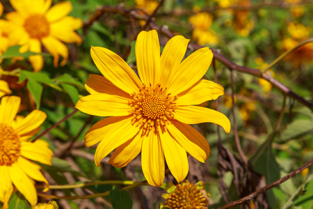 blossoming yellow flower tree: Tree marigold flower or Mexican sunflower
