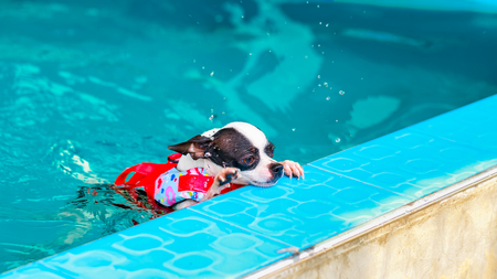 man's best friend: chihuahua dog swimming in the pool