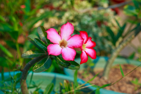 impala lily: desert rose or impala lily pink flower in home garden Stock Photo