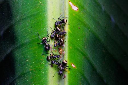 hormiga hoja: hormiga negro en hojas de pl�tano verde Foto de archivo