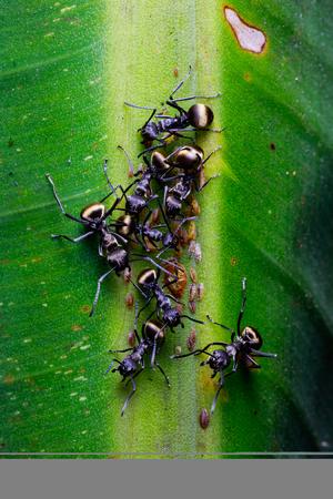 hormiga hoja: hormiga negro en hojas de plátano verde Foto de archivo