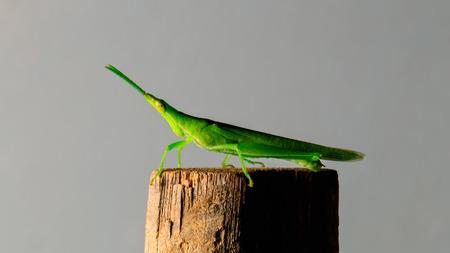 bamboo stick: green grasshopper on bamboo stick Stock Photo