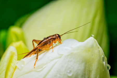 cricket insect: cricket insect on white lotus flower