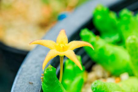 waterless: yellow cactus flower