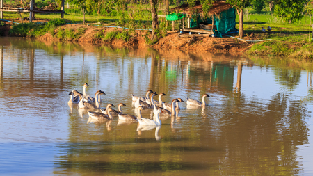 pato real: farm ducks and gooses swimming in the pond